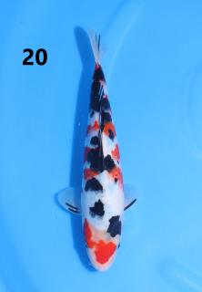 5w 20-26cm