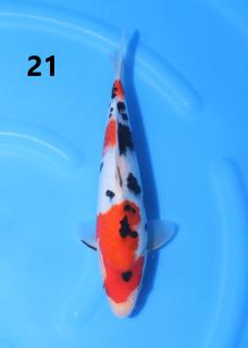5w 21-25cm
