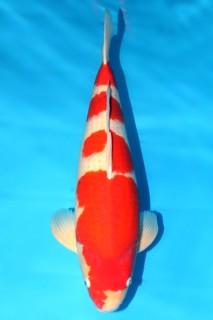 松江产红白三才雌性68cm