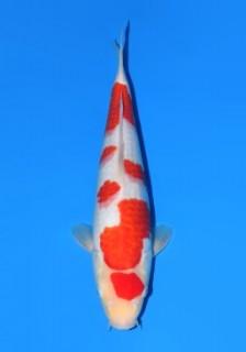 ma22 Female 34cm