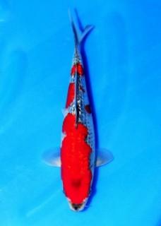 mn8_2 Female 25cm